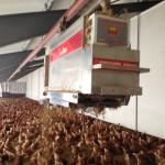 Reference: egglaying hens
